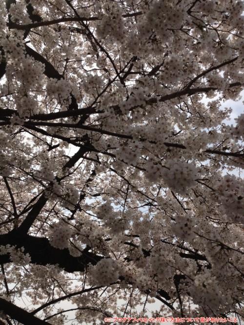 上野公園の桜2